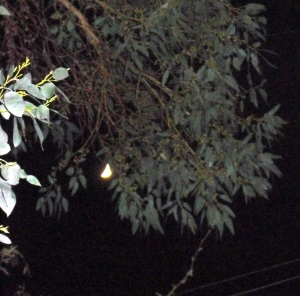 the moon through the gum tree - March 2013