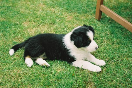 Even as a puppy he was a mild little chap.