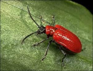 Lily beetle: shining like a jewel from the Arabian Nights