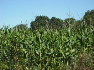 maize drying on the cob