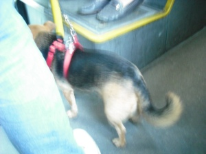 discreet, conscientious: a dog that manages a bus, crowds and a complex lead, and gets everything right.