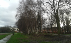 Silver birches in winter