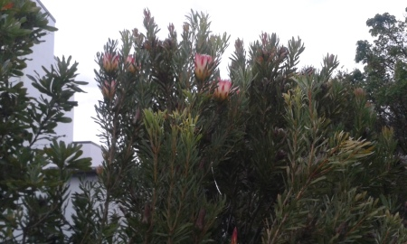A thriving protea loomed out of the dimness.